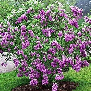 Syringa meyeri 'Palibin' (Dwarf Korean Lilac)