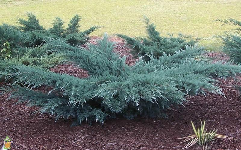 Juniperus horizontalis 'Blue Prince' (Blue Prince Juniper)