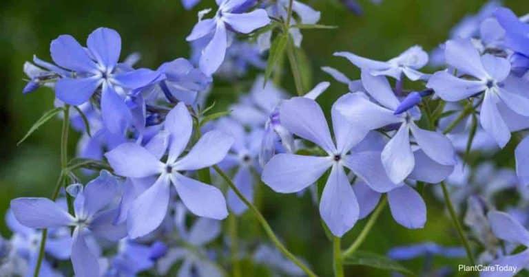 Blue Phlox (Phlox divartica)
