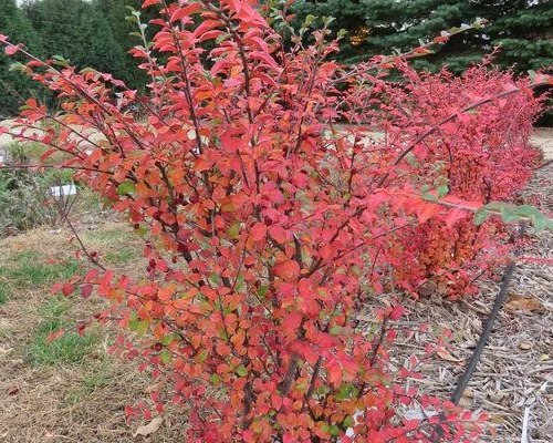 Cotoneaster 'Bronfire' PP30,493 (Autumn Inferno® Cotoneaster)