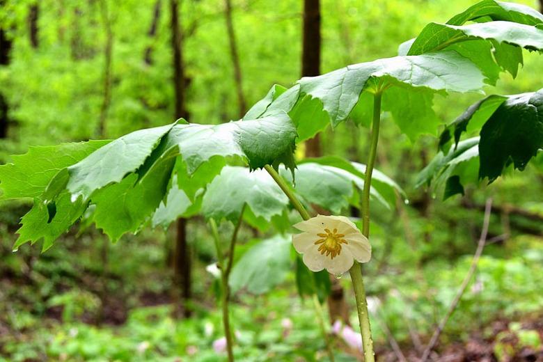 Podophyllum peltatum (Mayapple)