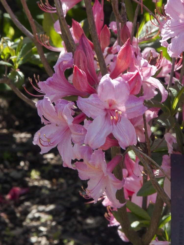 Rhododendron 'Candy Lights' (Candy Lights Azalea)